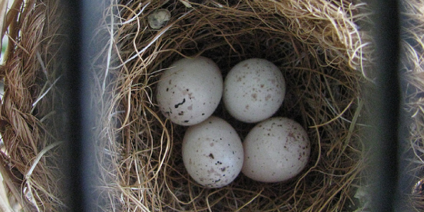 This is a condor nest of eggs.